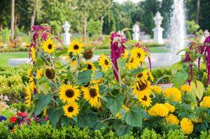bialystok ogrody palac branickich sloneczniki 300x199 Białystok ogrody Pałac Branickich