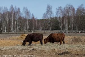 biebrzanski park narodowy krowy 300x200 Biebrzański Park Narodowy krowy