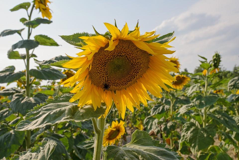 kwiat slonecznika 960x641 Sesja w słonecznikach