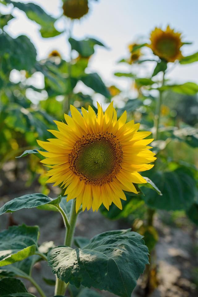 kwiaty slonecznika Sesja w słonecznikach