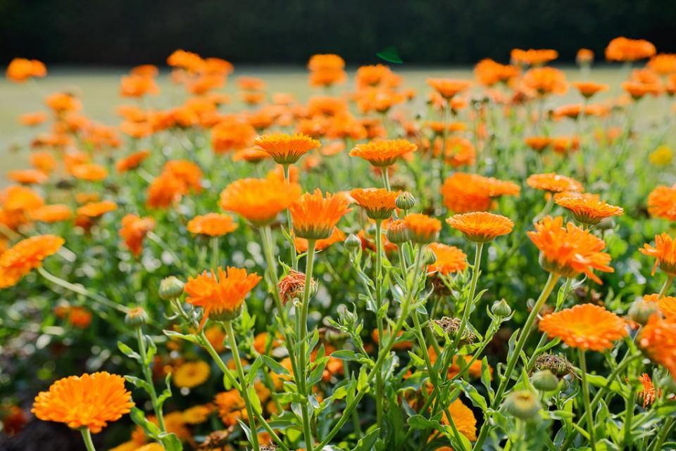 ogrod botaniczny powsin aksamitki 960x641 Sesja w Powsinie w Ogrodzie Botanicznym