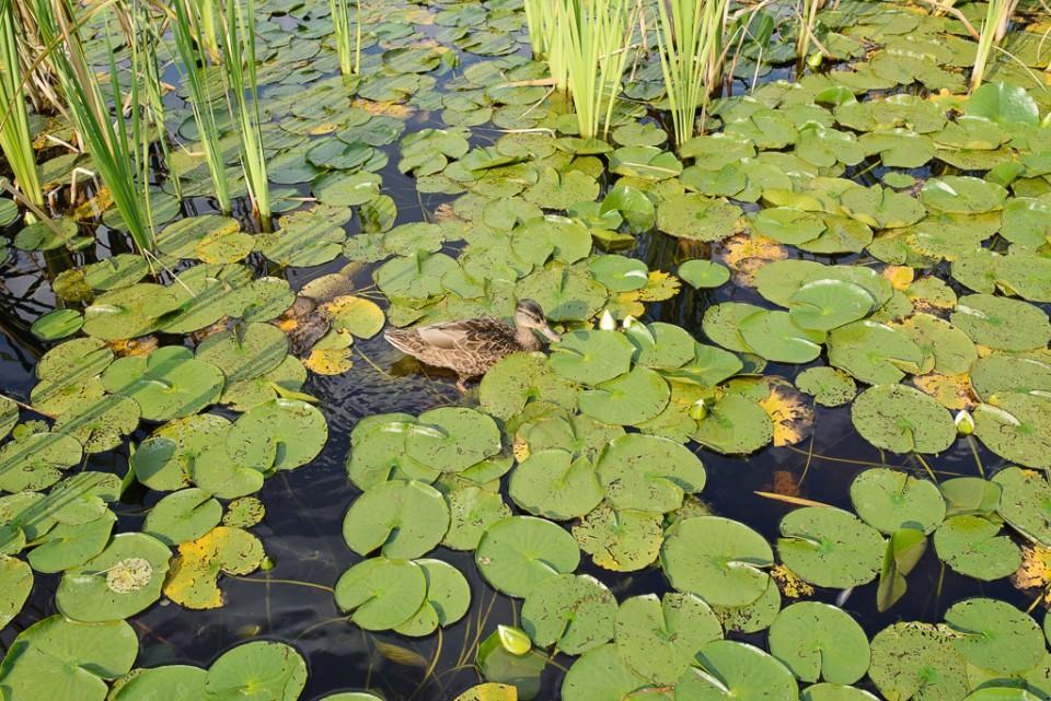 ogrod botaniczny powsin kaczki 960x641 Sesja w Powsinie w Ogrodzie Botanicznym