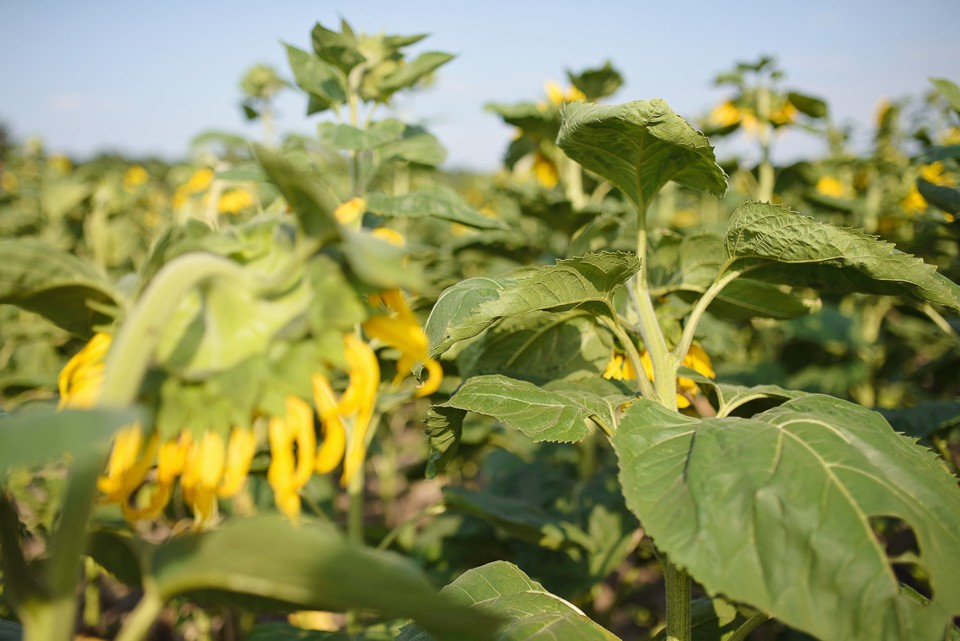 pole slonecznikow 960x641 Sesja w słonecznikach