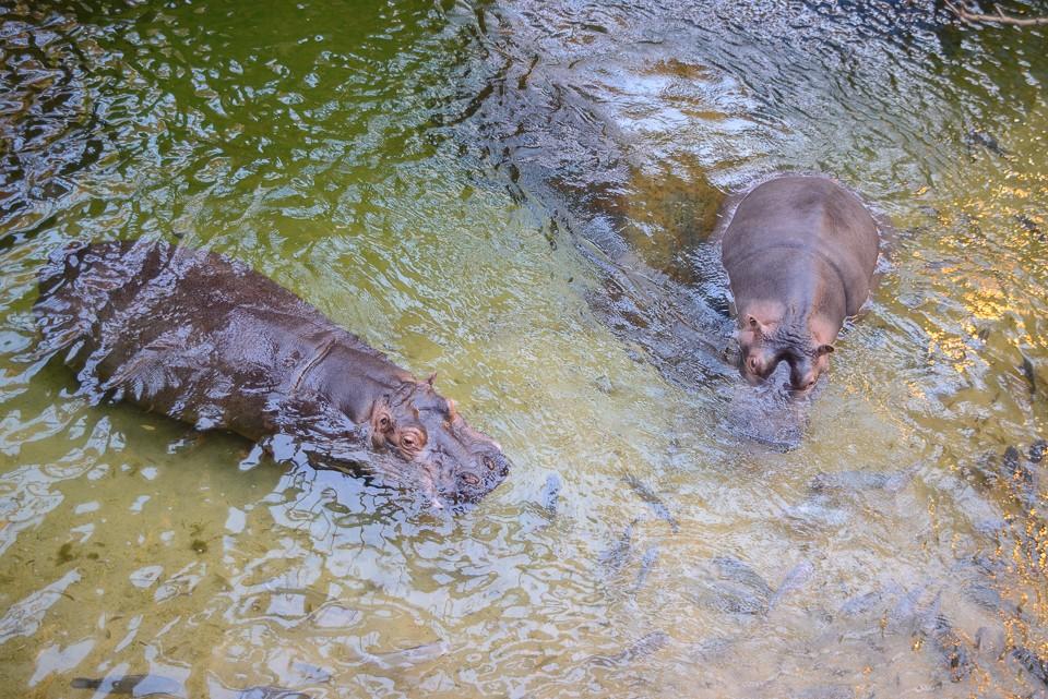 Wroclaw Afrykarium hipopotamy 960x641 Weekend we Wrocławiu