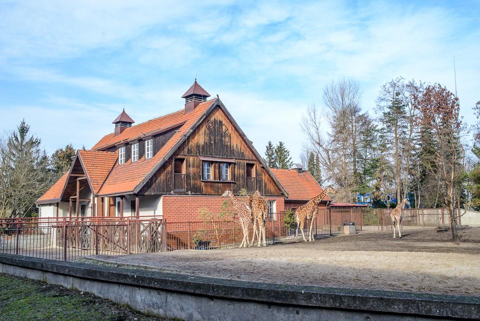 Zoo Wroclaw zyrafy 960x641 Weekend we Wrocławiu