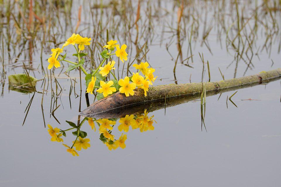 biebrzanski park narodowy kaczence 960x640 Biebrzański Park Narodowy wiosną