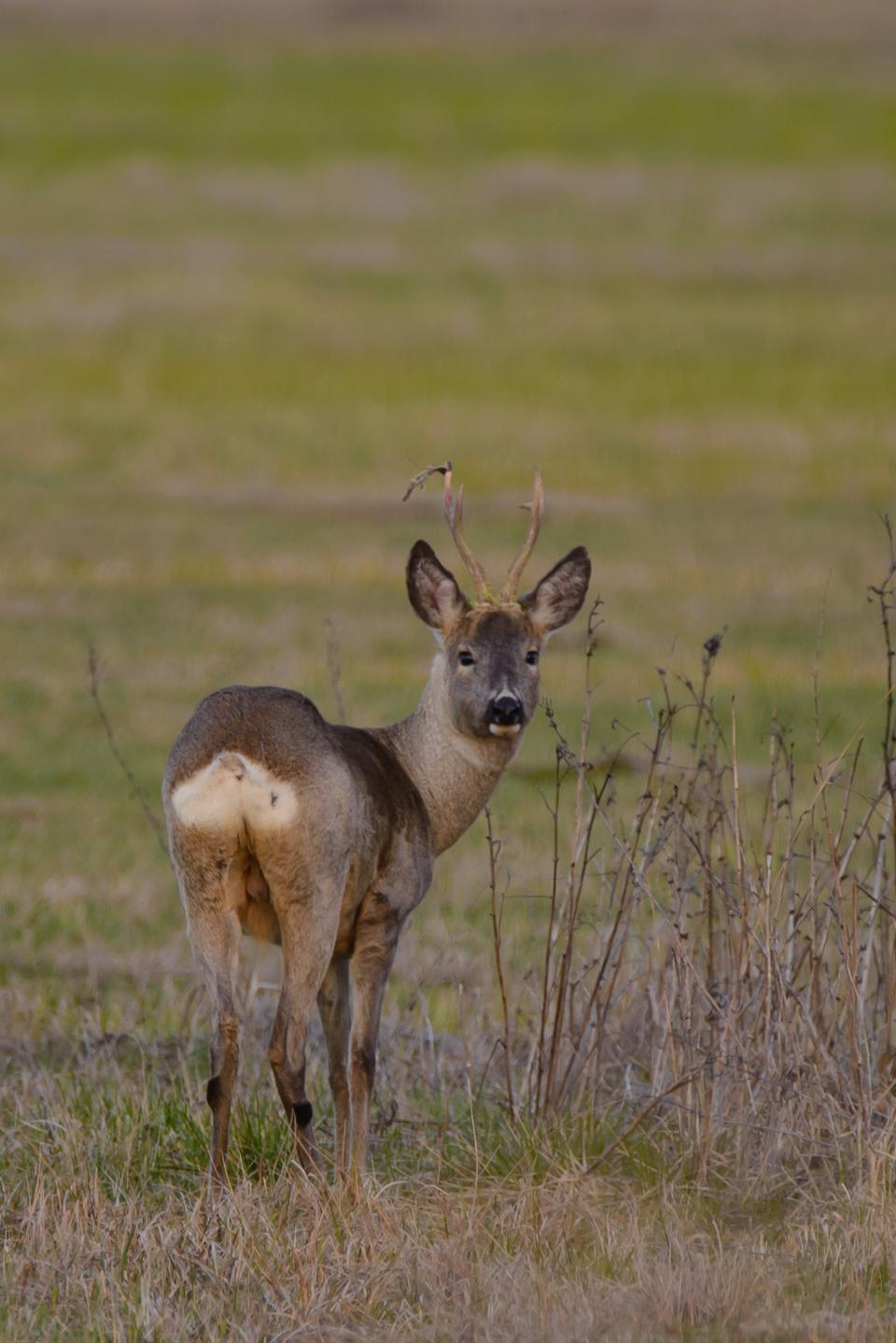 biebrzanski park narodowy koziol Biebrzański Park Narodowy wiosną
