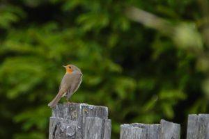 biebrzanski park narodowy rudzik 300x200 biebrzanski park narodowy rudzik