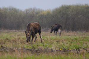 losie biebrzanski park narodowy 300x200 losie biebrzanski park narodowy