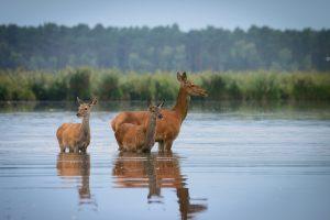 stawy milickie lanie jelenie 300x200 stawy milickie lanie jelenie